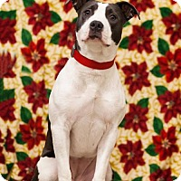 Adopt A Pet :: Lucy the Pit Bull D3386 - Shakopee, MN