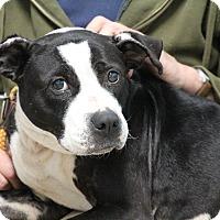 Adopt A Pet :: Liberty/Libby - Elyria, OH