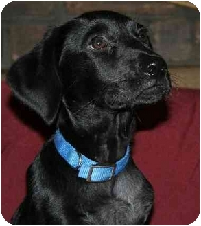 Labrador Retriever/Terrier (Unknown Type, Medium) Mix Dog for adoption in Youngsville, Louisiana - Bucky