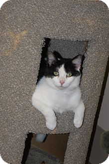 Domestic Shorthair Cat for adoption in Medina, Ohio - Betty White