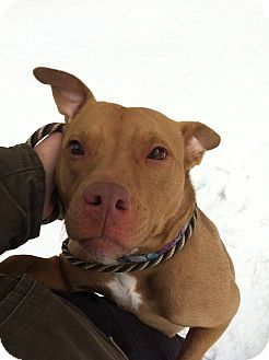 Pit Bull Terrier/Terrier (Unknown Type, Medium) Mix Dog for adoption in Hillsborough, New Jersey - Phoebe