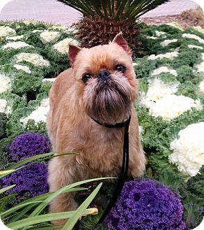 Brussels Griffon/Affenpinscher Mix Dog for adoption in Denver, Colorado - COLORADO HELP NEEDED!