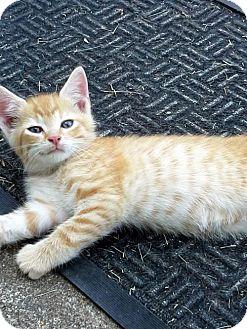 Domestic Shorthair Cat for adoption in Harrisonburg, Virginia - Riley