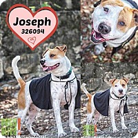 American Staffordshire Terrier/Retriever (Unknown Type) Mix Dog for adoption in San Antonio, Texas - A326094 Joseph