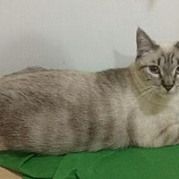 Siamese Cat for adoption in Los Angeles, California - Purrrrsia