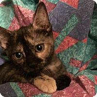 Adopt A Pet :: Chai - Hurst, TX