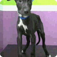 Adopt A Pet :: Daliah - Fort Collins, CO