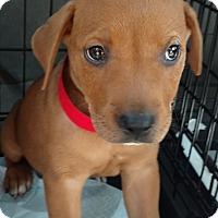 Adopt A Pet :: Jo Jo - Tampa, FL