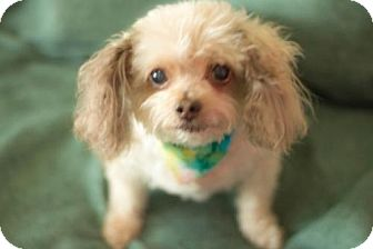 Poodle (Miniature) Dog for adoption in Carrollton, Texas - Buddy