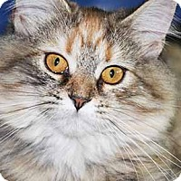 Domestic Mediumhair Kitten for adoption in South Bend, Indiana - Mya