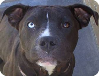 American Pit Bull Terrier Mix Dog for adoption in Red Bluff, California - DOLLY-Low Fees/spayed