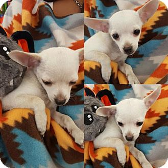 Pomeranian/Chihuahua Mix Puppy for adoption in Colton, California - ! 4 Trinket