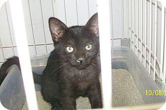Domestic Mediumhair Cat for adoption in Mexia, Texas - Sundance Kid