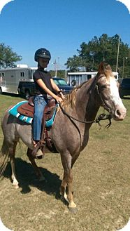 Grade/Tennessee Walking Horse Mix for adoption in Cantonment, Florida - Hope