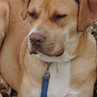 Labrador Retriever/Boxer Mix Dog for adoption in Anderson, South Carolina - Conrad