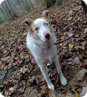Collie Mix Dog for adoption in Capon Bridge, West Virginia - Avalon