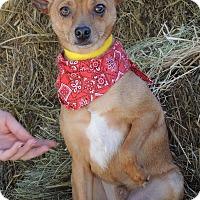 Adopt A Pet :: Tamale - Joplin, MO