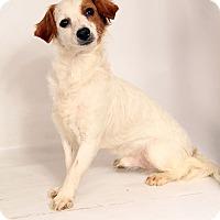 Adopt A Pet :: Garfunkel Chihuahua Spaniel - St. Louis, MO