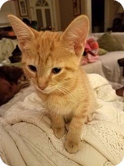Domestic Shorthair Kitten for adoption in Homewood, Alabama - Bert