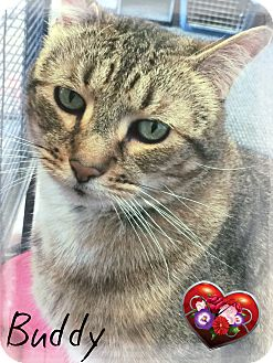 Domestic Shorthair Cat for adoption in Germantown, Ohio - Buddy