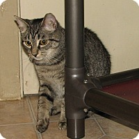 Domestic Shorthair Kitten for adoption in Spring Grove, Pennsylvania - Unice (teenage female))