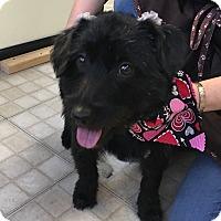 Adopt A Pet :: Biscotti - Aurora, IL