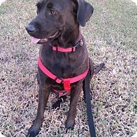Adopt A Pet :: Caroline - Royal Palm Beach, FL
