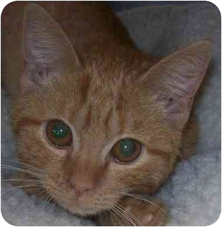 Domestic Shorthair Cat for adoption in Annapolis, Maryland - Lolly