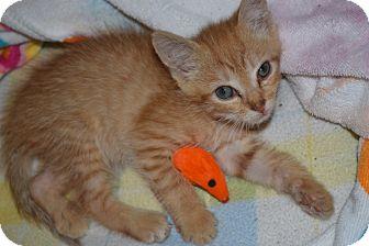 Domestic Shorthair Kitten for adoption in Island Park, New York - Obi