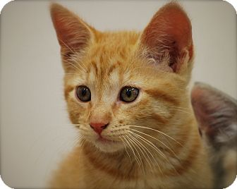 Domestic Shorthair Kitten for adoption in Bensalem, Pennsylvania - Fred