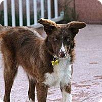 Adopt A Pet :: Amber - Tempe, AZ