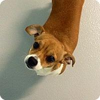 Adopt A Pet :: Belle - Muskegon, MI