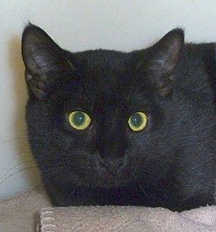 Domestic Shorthair Cat for adoption in Carmel, New York - Dela