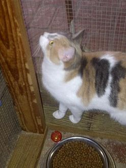 Calico Cat for adoption in Los Angeles, California - Carolyn