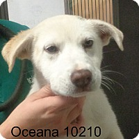 Adopt A Pet :: Oceana - baltimore, MD