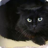 Domestic Mediumhair Cat for adoption in Bellevue, Washington - Eclipse