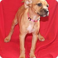 Adopt A Pet :: Gili - Umatilla, FL
