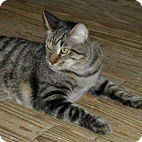 Domestic Shorthair Cat for adoption in Bonita Springs, Florida - Rory