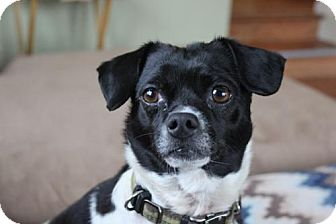 Terrier (Unknown Type, Medium)/Chihuahua Mix Dog for adoption in Morgan Hill, California - Odie Lou