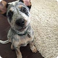 Adopt A Pet :: Robert Frost - Austin, TX