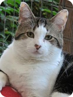 Domestic Shorthair Cat for adoption in Quilcene, Washington - Pharaoh