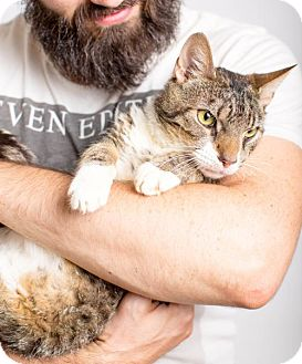 Domestic Shorthair Cat for adoption in Brooklyn, New York - George Loves Hugs