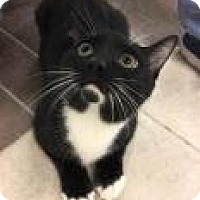 Domestic Shorthair Cat for adoption in Columbus, Georgia - Gojo 7144