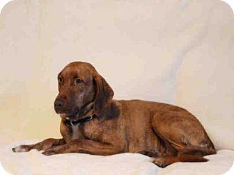 Redbone Coonhound Mix Dog for adoption in West Palm Beach, Florida - TILLY