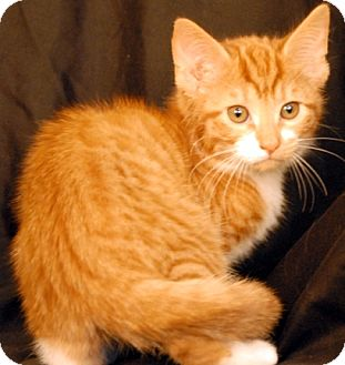Domestic Shorthair Cat for adoption in Newland, North Carolina - Venice