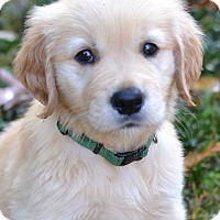 Adopt A Pet :: Beau - Enfield, CT
