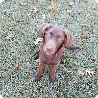 Adopt A Pet :: S'more - Denton, TX