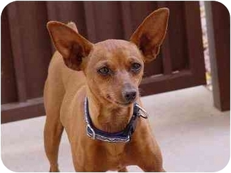Miniature Pinscher Dog for adoption in Phoenix, Arizona - Pip