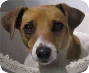 Jack Russell Terrier Dog for adoption in Omaha, Nebraska - Poppy