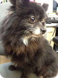 Pomeranian Mix Dog for adoption in Richmond, Virginia - Harmony